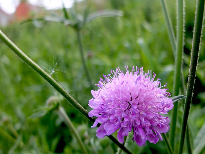 lilac scabious