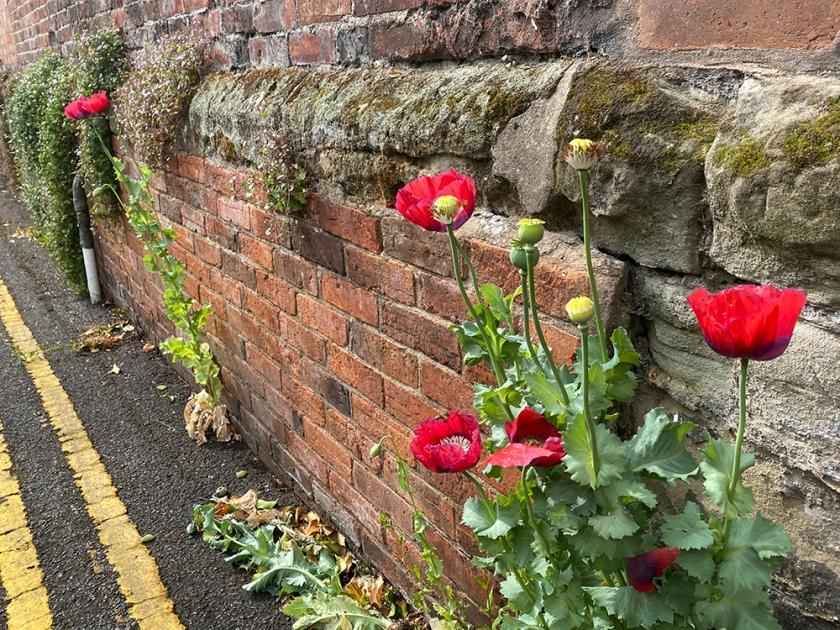 poppies alongside brick wall