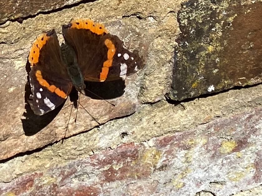 red admiral butterfly on old brick wall
