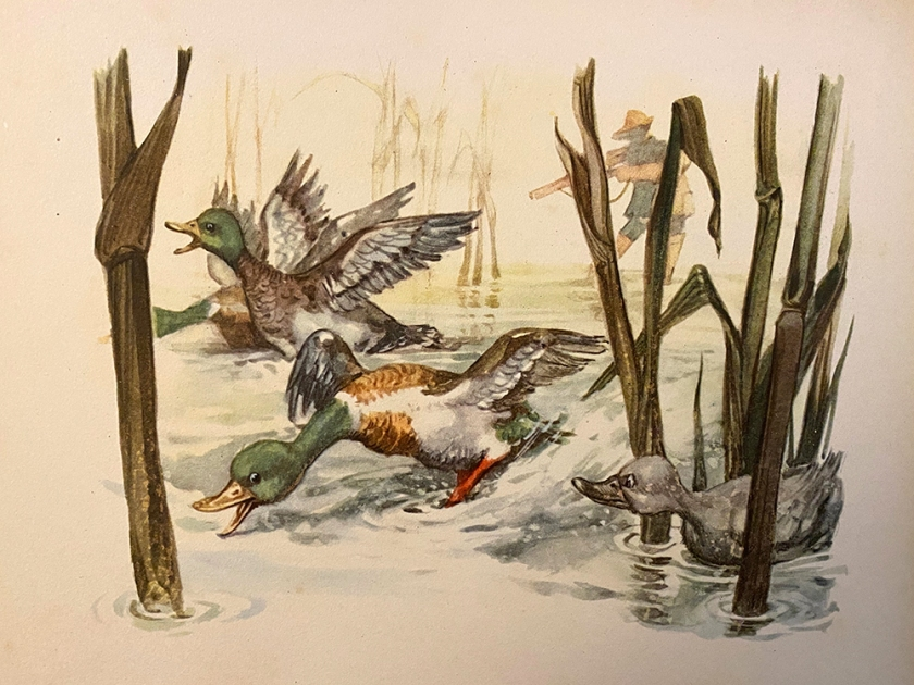 Ugly Duckling book illustration ducks