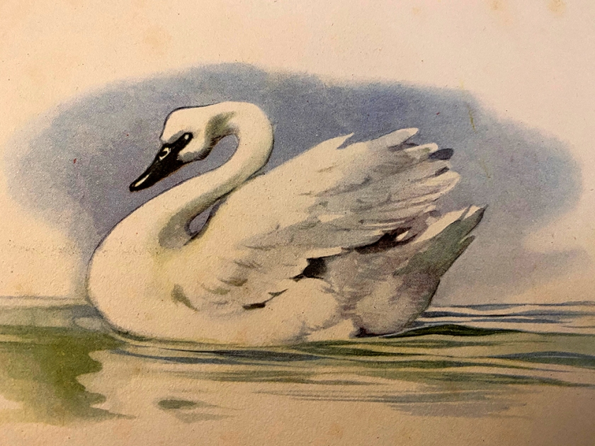Ugly Duckling book illustration adult swan