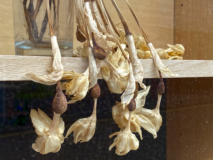 dead and dried daffodils