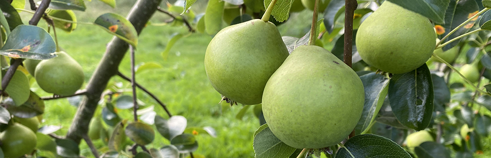 pears growing on tree