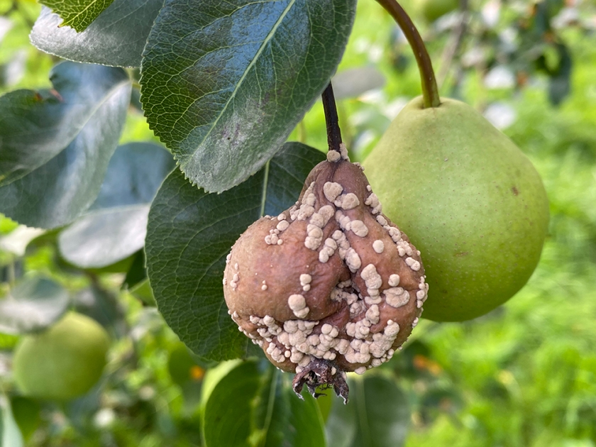 rotten pear growing on tree