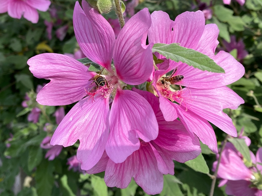bees on pink mallow flowers