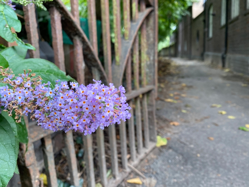 buddleia flower. wrought iron gate. path