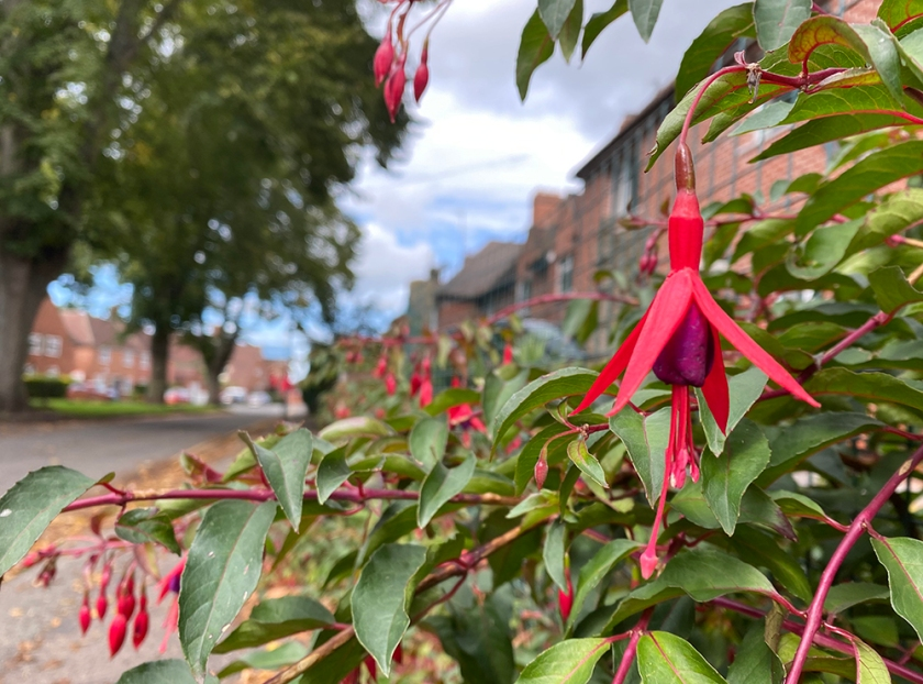 fuchsia. red brick houses in distance