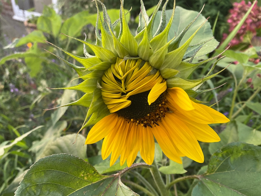 half-open sunflower