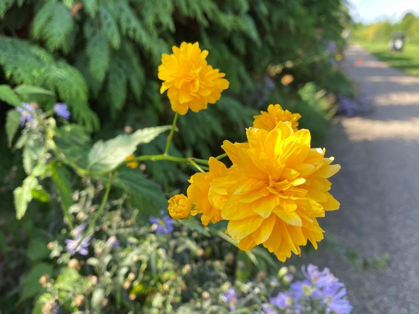 Japanese rose - Kerria japonica 'Pleniflora'