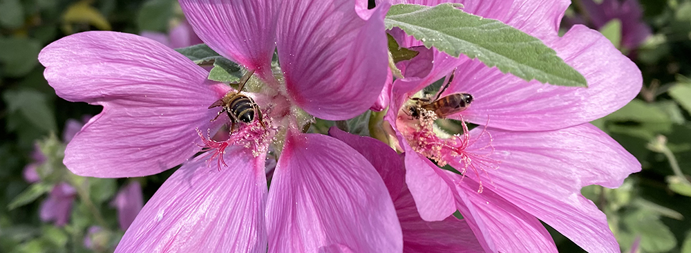Pink mallow flowers with bees