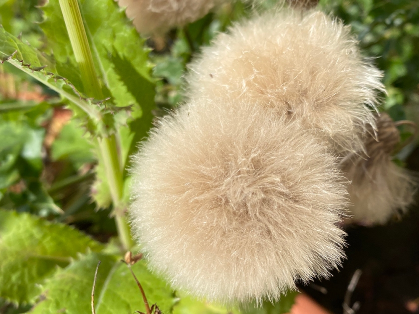Dandelion-type clock seed heads