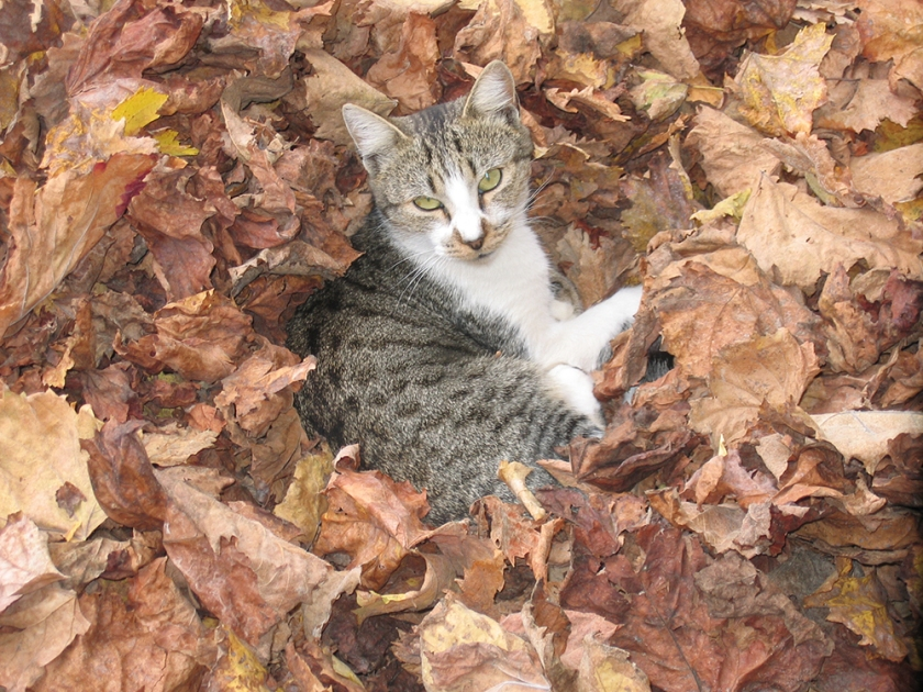 cat among autumn leaves