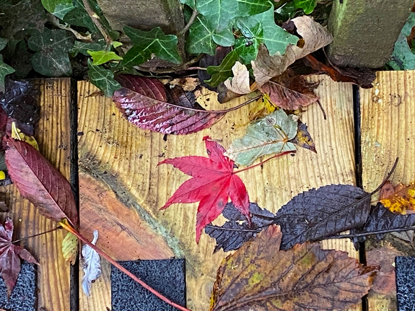 red autumn leaf and other foliage