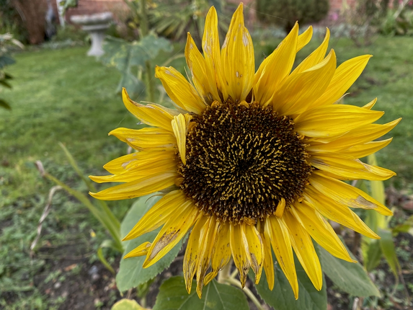 miniature sunflower