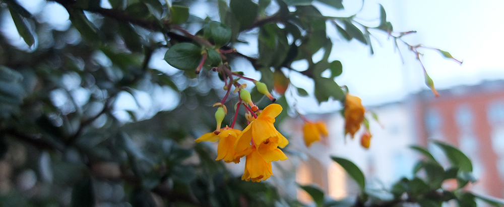 Yellow berberis flowers