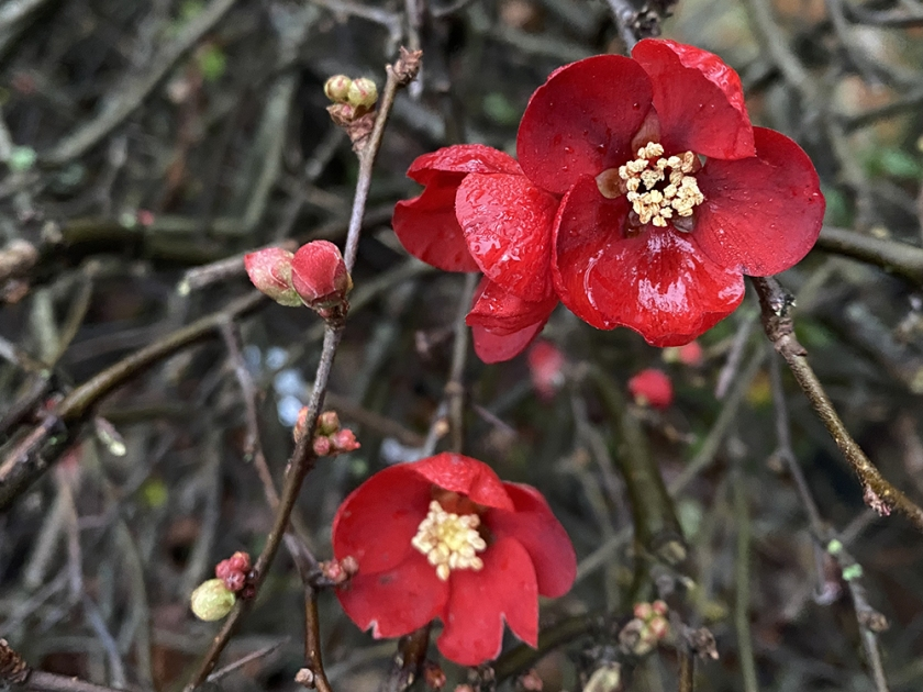 scarlet japonica flowers