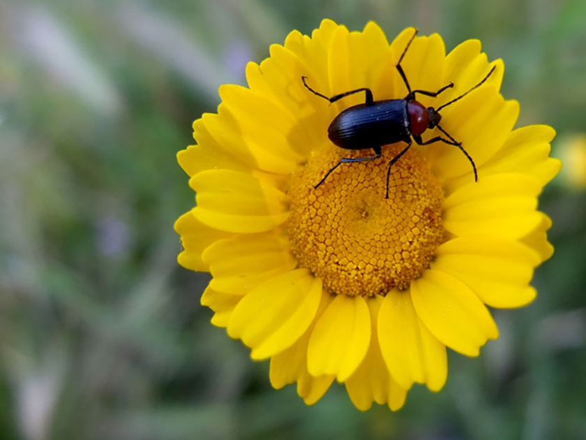 bug on yellow composite flower