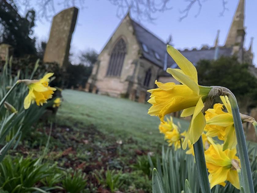 Daffodils growing in churchyard