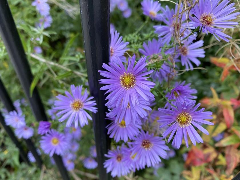 michaelmas daisy and iron fence