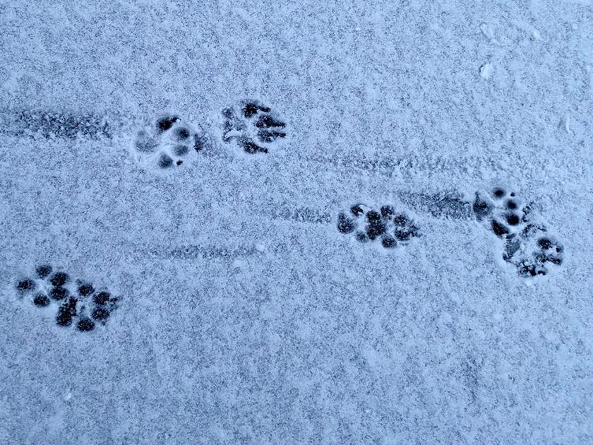 paw prints in light snow