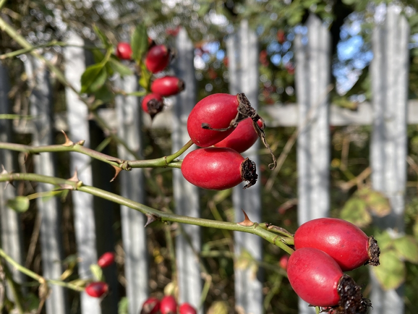 rose hips and metal fence