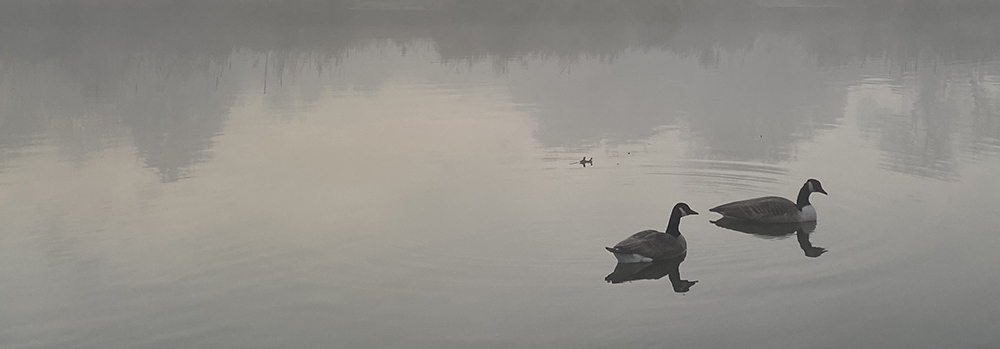 two geese swimming on misty river
