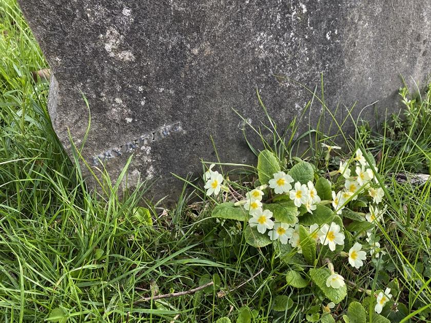 graveyard primroses