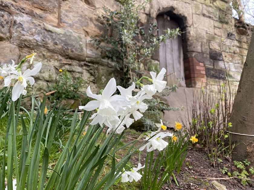 white daffodils, medieval stone wall