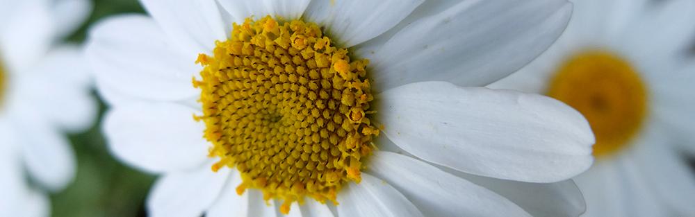 giant daisy close up