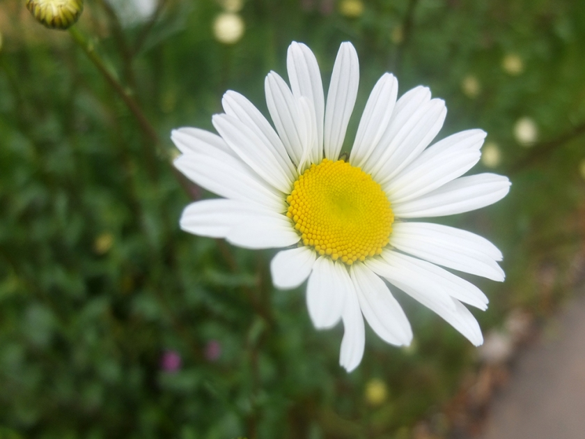 giant daisy
