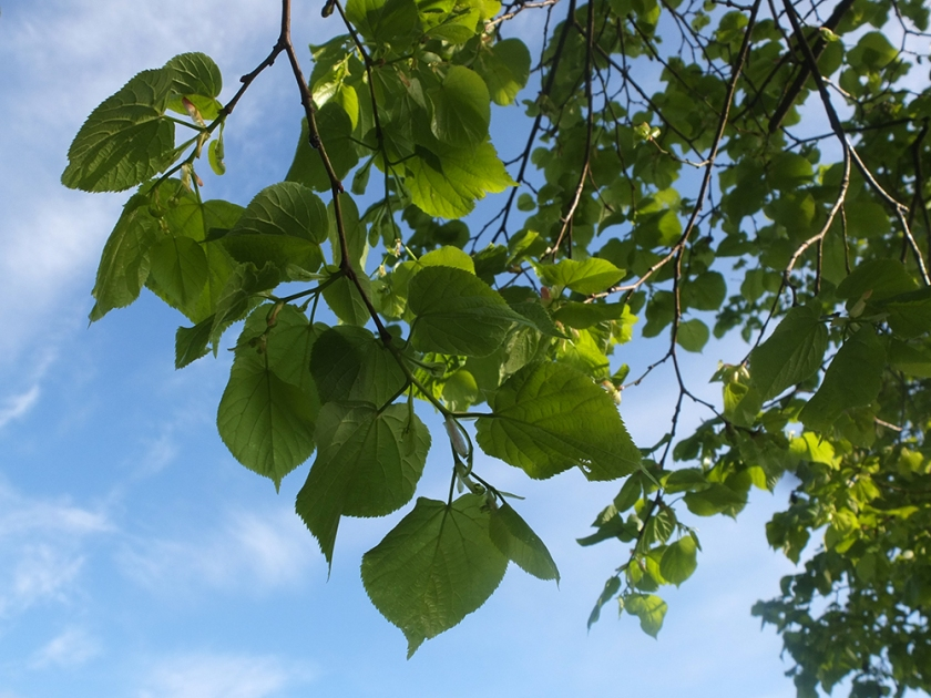 linden leaves against the sky