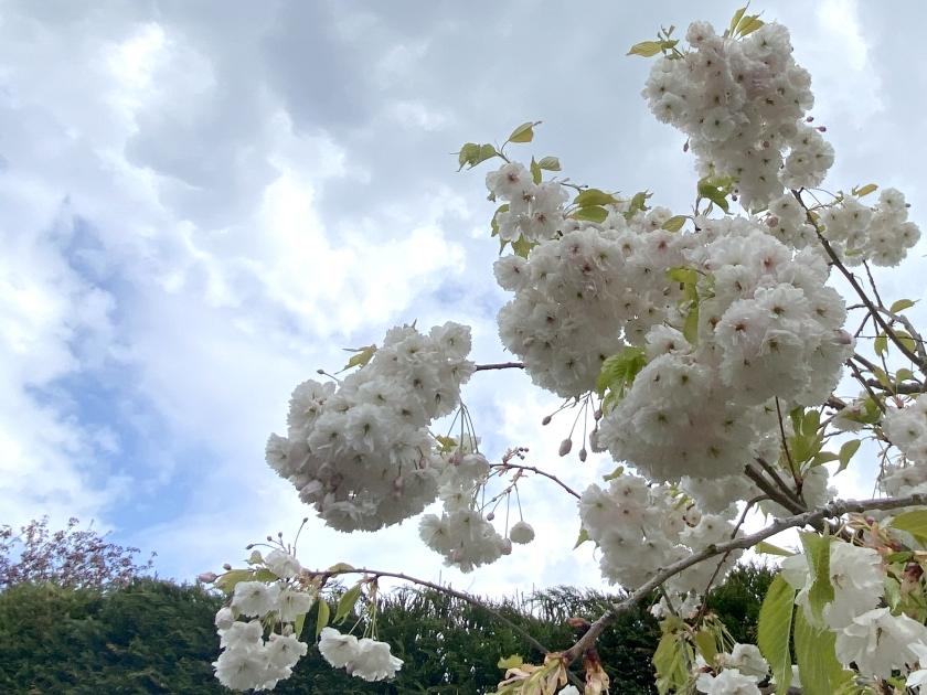 ornamental cherry blossom against a cloudy blue sky