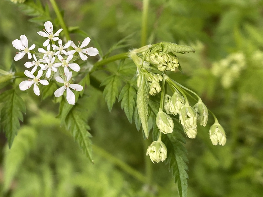 queen anne's lace - cow parsley