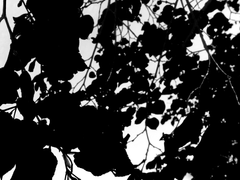 linden leaves against the sky reduced to black and white shapes