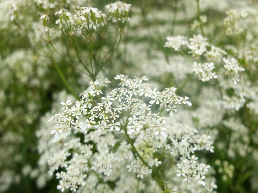 white umbellifer. maybe cow parsley