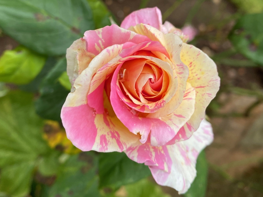 pink and cream mottled rose