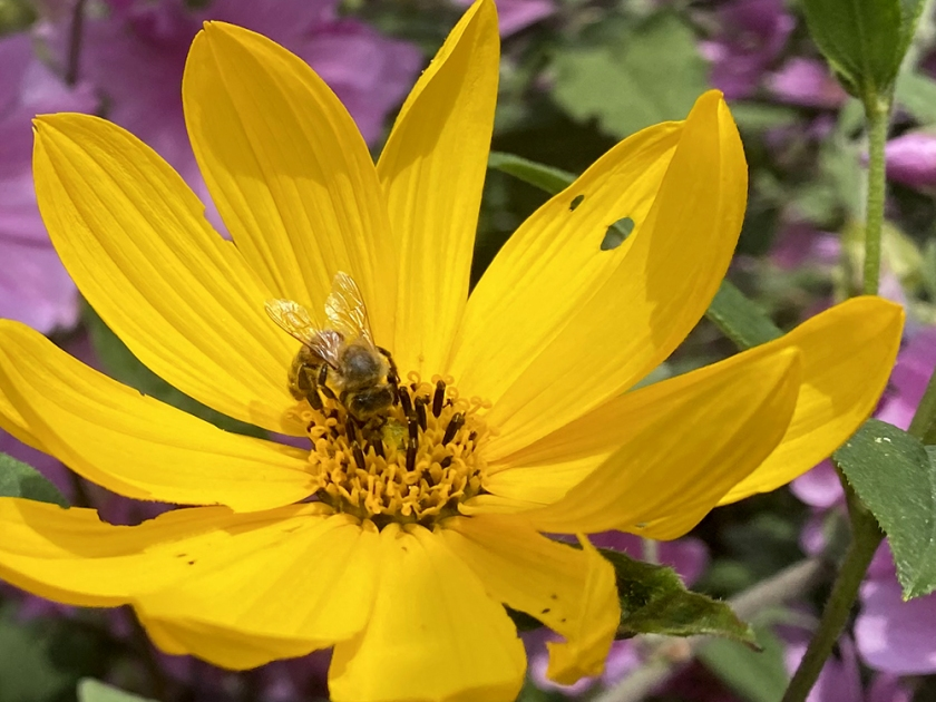 Honey bee on yellow daisy