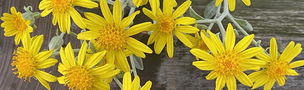 Brachyglottis. Yellow sunlike flower