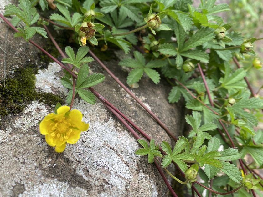 buttercup. Old stone wall