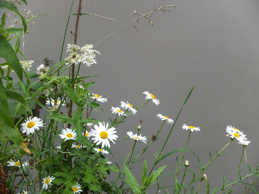 moon daisies by the canal