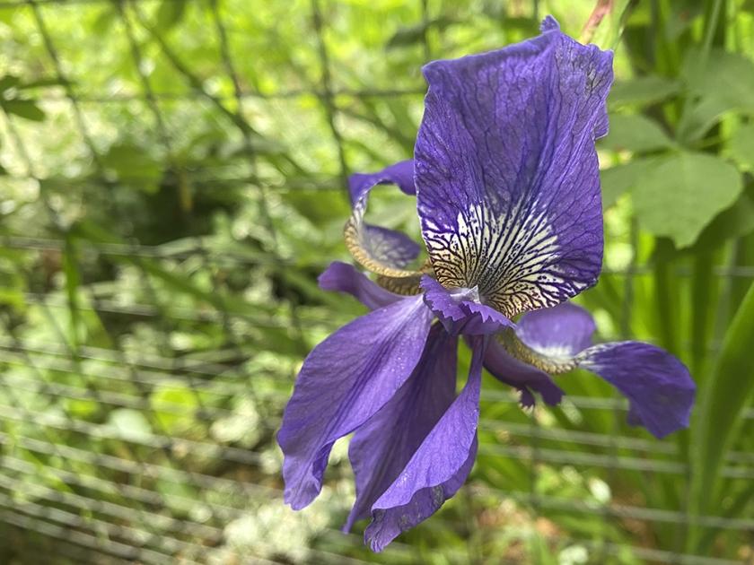 purple iris; wire fence
