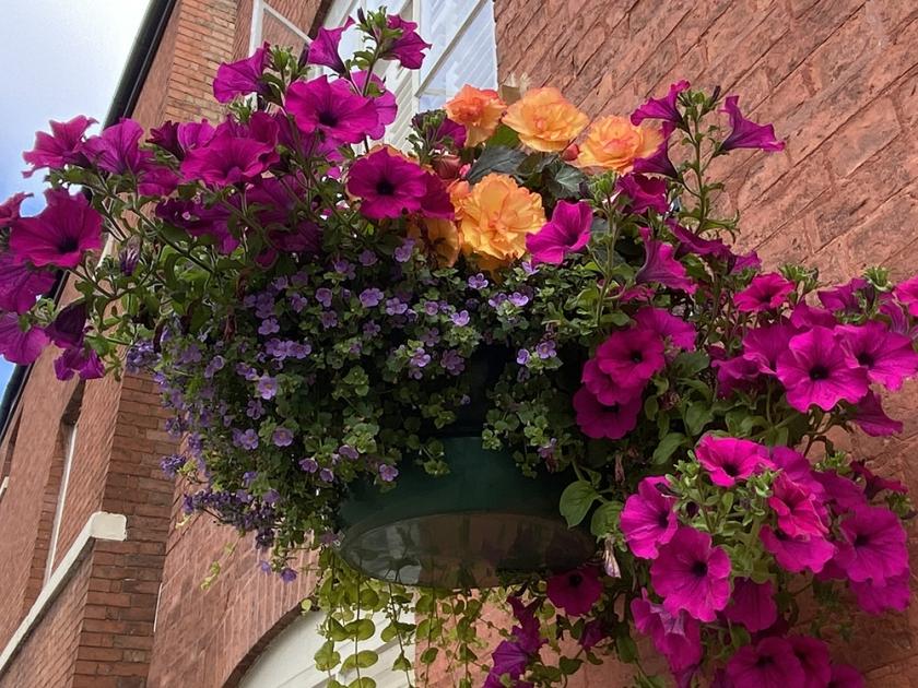 hanging basket with purple petunias and orange begonias