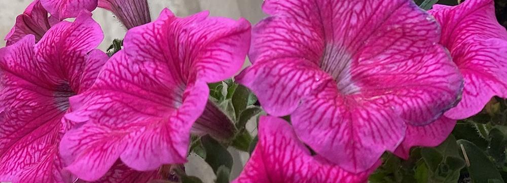 deep pink petunias