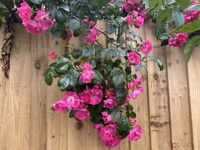 Pink roses. Wooden fence