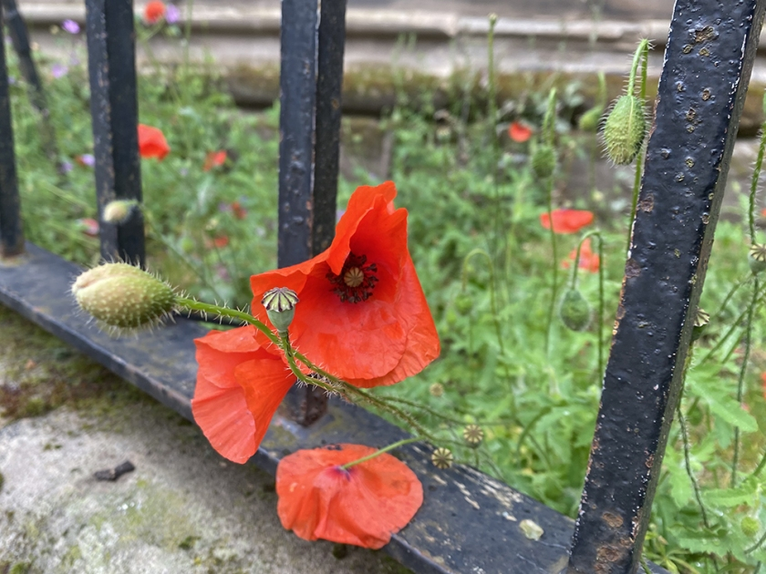 Red poppies. Old iron railing