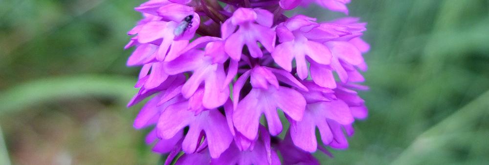 pyramidal orchid close up