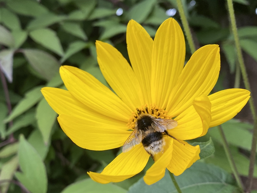 yellow flower with bumble bee