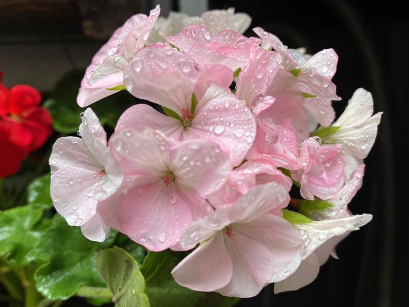 pink geranium after rain
