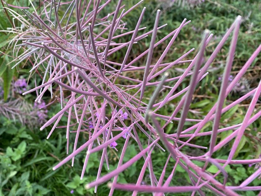rosebay willow herb after flowering. Unripe seedpods