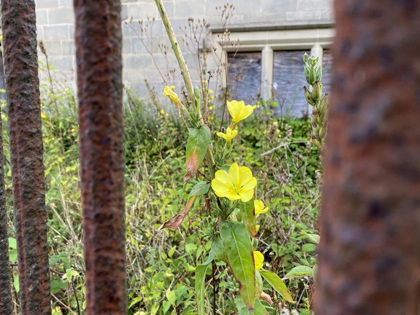 evening primrose between rusted iron railings